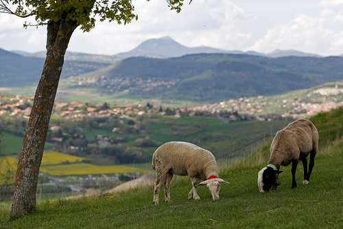image تصویری زیبا از چرای گوسفندان در مراتع سبز مرکز فرانسه