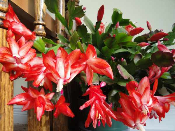 image, معرفی گیاهان آپارتمانی که در تمام فصل ها گل می دهند