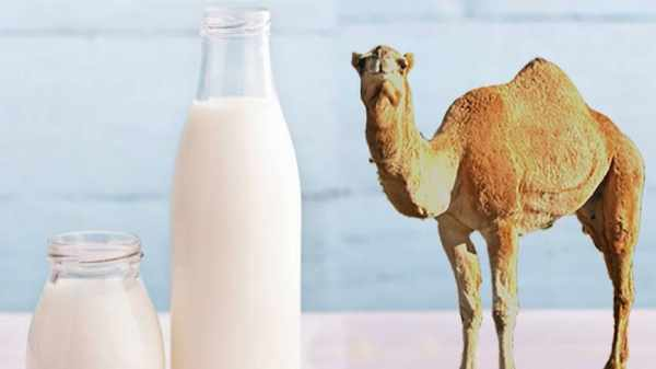 image, خوردن شیر شتر چه تاثیراتی بر سلامتی دارد