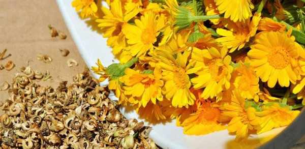 image مصرف گل همیشه بهار چه اثراتی بر سلامتی بدن انسان دارد