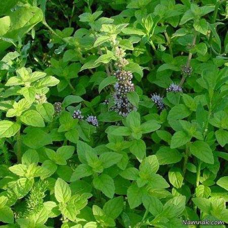 image اثرات پونه گیاهی برای سلامتی بدن مخصوصا فشارخون بالا