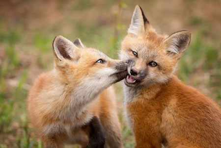image, عکسی زیبا از بازیگوشی روباه ها