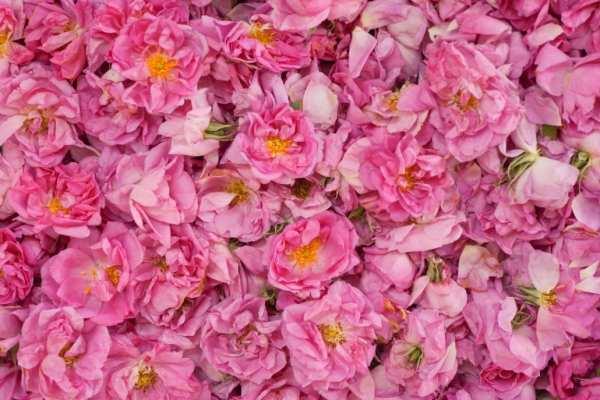 عکس, تاثیرات جالب نوشیدن دمنوش گل محمدی بر سلامتی بدن