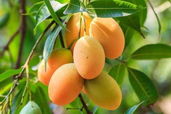 image, خواص میوه انبه برای سلامتی بدن