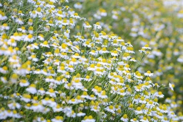 image, گیاهان دارویی که به خواب خوب شبانه کمک می کنند