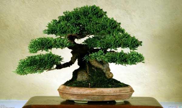 image, تمام آنچه باید درباره نگهداری گیاه بن سای در خانه بدانید