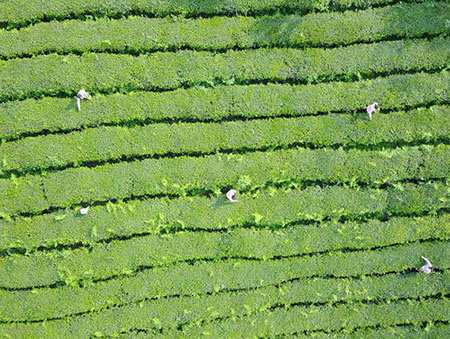 image, تصویری هوایی از یک مزرعه چای در چین