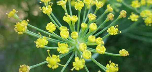 image معرفی گیاهان دارویی مفید برای سلامتی و نحوه مصرف آنها