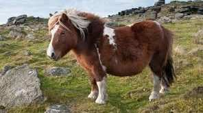 image معرفی نژاد اسب پونی و تصاویر زیبا از اسب پونی