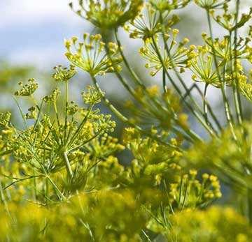 image فواید جالب گیاه رازیانه برای سلامتی