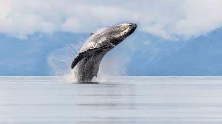 image, تصویری زیبا از شنای یک وال آب های آلاسکا