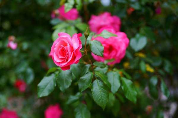 image, عکس های زیبا از گل رز برای عکس پروفایل تلگرام