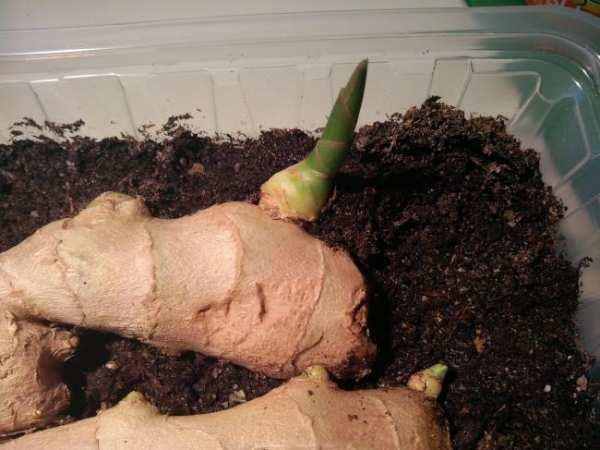 image, آموزش مرحله ای کاشت زنجبیل در گلدان