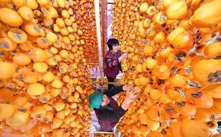 image عکس زیبای کشاورزان زن چینی در حال خشکاندن خرمالو