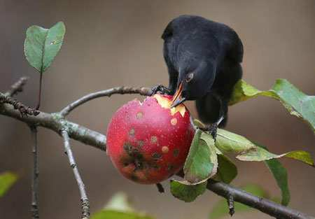 image تصویری زیبا از میوه خوردن یک پرنده