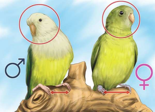 image, چطور تشخیص دهید طوطی برزیلی ماده است یا نر