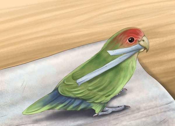 image چطور تشخیص دهید طوطی برزیلی ماده است یا نر