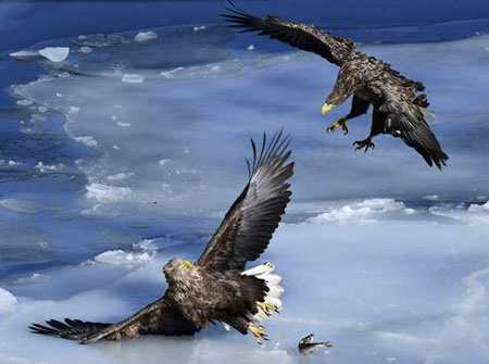 image تصویری از دعوای دو عقاب بر سر یک ماهی روسیه