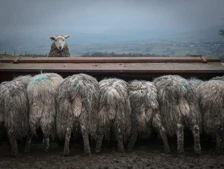 image, عکسی از مزرعه پرورش گوسفند در کندال بریتانیا