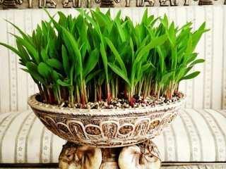 image آموزش کاشت سبزه عید با دانه ذرت