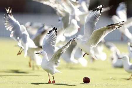 image, پرواز مرغان دریایی در ملبورن استرالیا