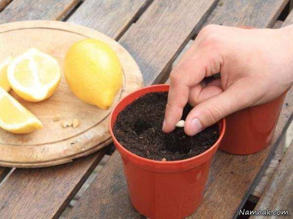 image آموزش کاشت هسته لیمو و پرتقال در گلدان خانگی