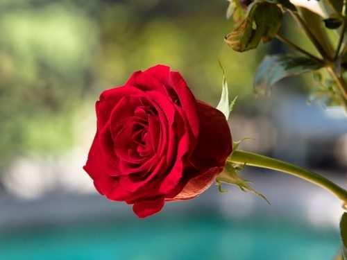 image چطور گل رز باغچه های خود را همیشه تازه نگهدارید