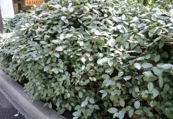 image, چه نوع درختی برای کاشت در فضاهای باز مقاوم و مناسب است