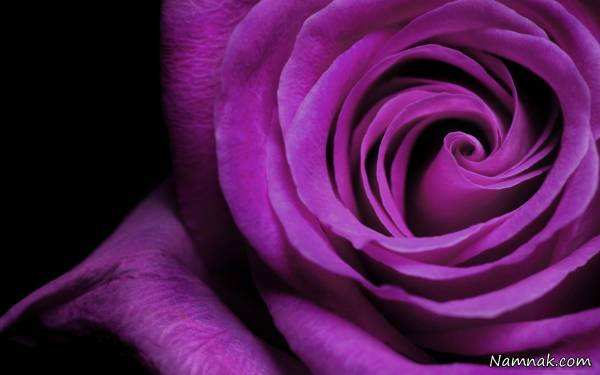 image هر رنگ گل رز برای هدیه دادن چه معنایی دارد