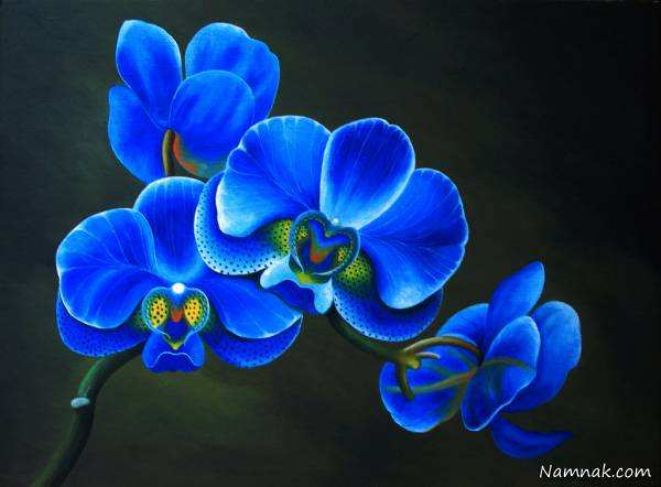 image هر رنگ  گل ارکیده هنگام هدیه دادن نماد چیست