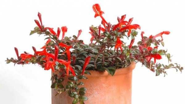 image نحوه پرورش و نگهداری گل کلومنه آ