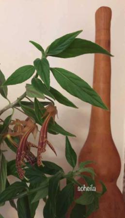 image, نحوه پرورش و نگهداری گل کلومنه آ