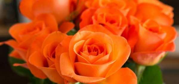 image, هر رنگ گل رز برای هدیه دادن چه معنایی دارد