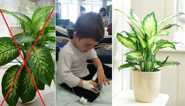 image آموزش نگهداری و پرورش گل دیفن باخیا در آپارتمان