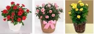 image نحوه پرورش و نگهداری گل رز مینیاتوری در آپارتمان