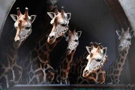 image, عکسی زیبا از زرافه ها در باغ وحش کلکته هند