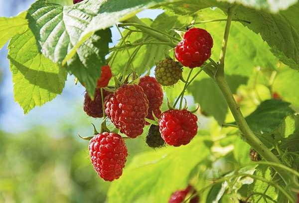 image میوه تمشک برای سلامتی چه فایده ای دارد