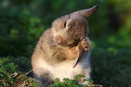 image عکس زیبایی از خرگوش وحشی در ولز