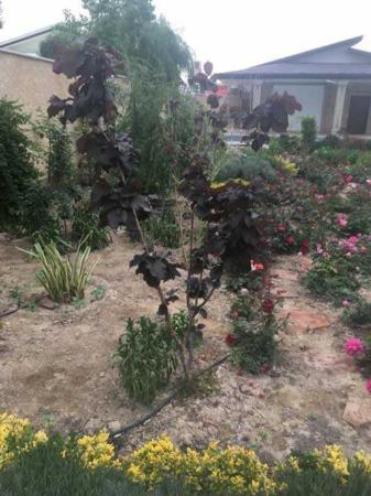 عکس, معرفی و عکس درخت های برگ رنگی برای تزیین حیاط