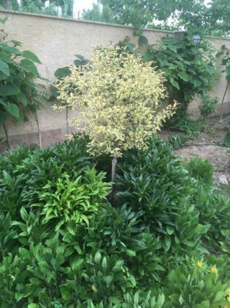 image معرفی و عکس درخت های برگ رنگی برای تزیین حیاط