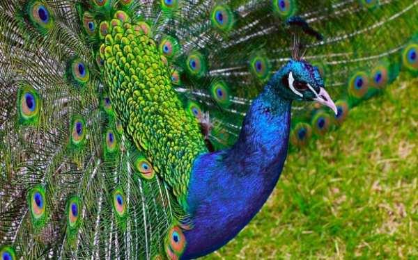 image همه آنچه که باید درباره پرنده زیبای طاووس بدانید