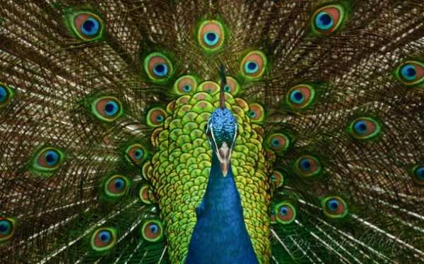 image, همه آنچه که باید درباره پرنده زیبای طاووس بدانید