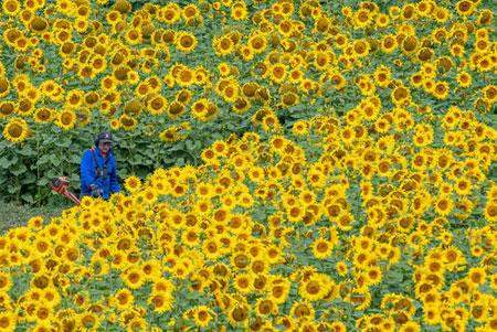 image عکس زیبای مزرعه گل آفتابگردان در آلمان