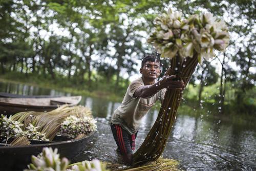 عکس, مرد هندی در حال جمع آوری گل نیلوفرآبی بنگلادش