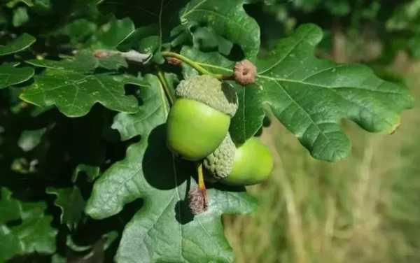 عکس, آیا میدانید برگ درخت بلوط چه خواصی دارد
