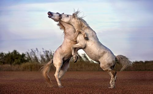 image عکسی زیبا از نزاع دو اسب بر سر قلمرو در جنوب فرانسه