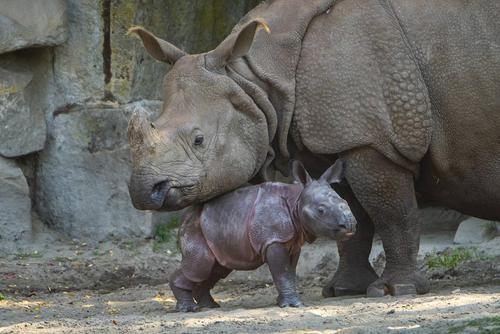 image عکسی زیبا از کرگدن تازه متولد شده در باغ وحش برلین