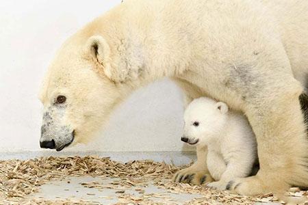 image خرس قطبی زیبا با توله اش در باغ وحش آلمان