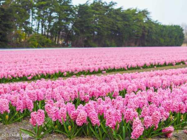 image تصاویر دیدنی و بهاری از گل های سنبل