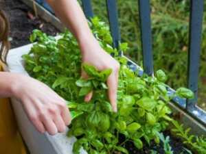 image چطور در خانه و گلدان های کوچک سبزی خوردن بکارید